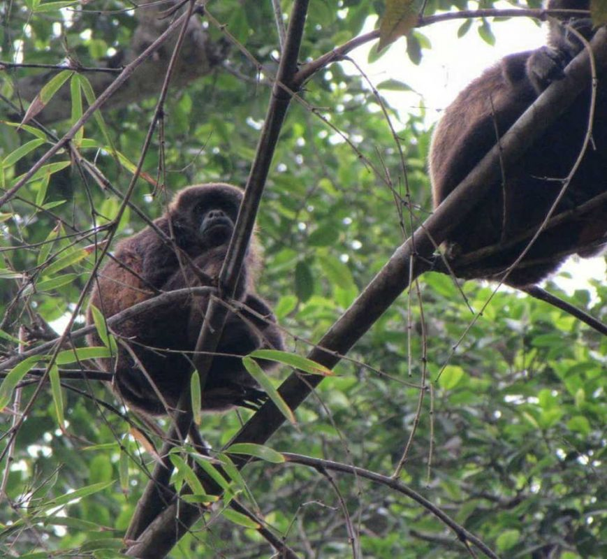 One day in Manta Ecuador howler monkeys