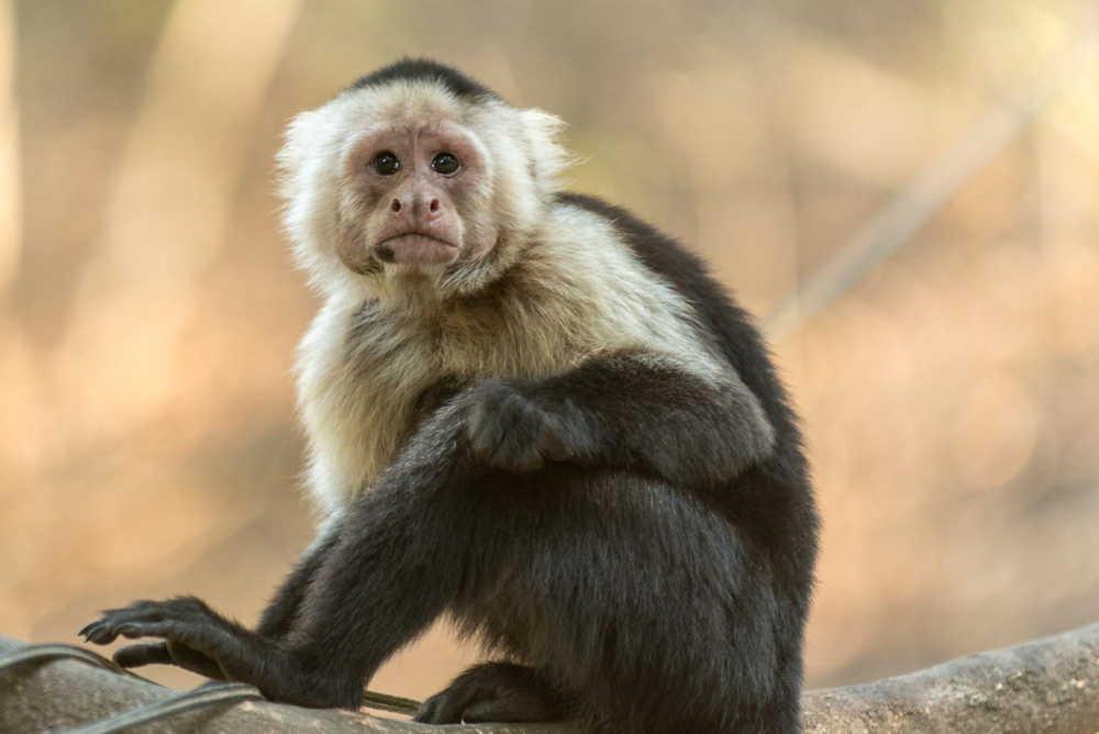 pacoche cappuchin monkey